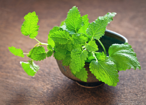 grow lemon balm